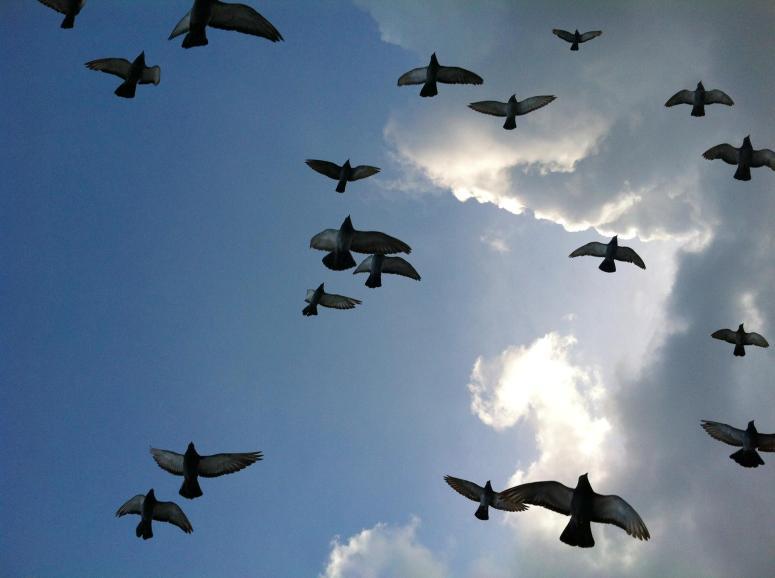 pigeons panic MGD©